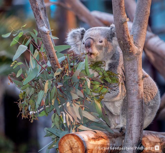 Koalafornia-12.jpg