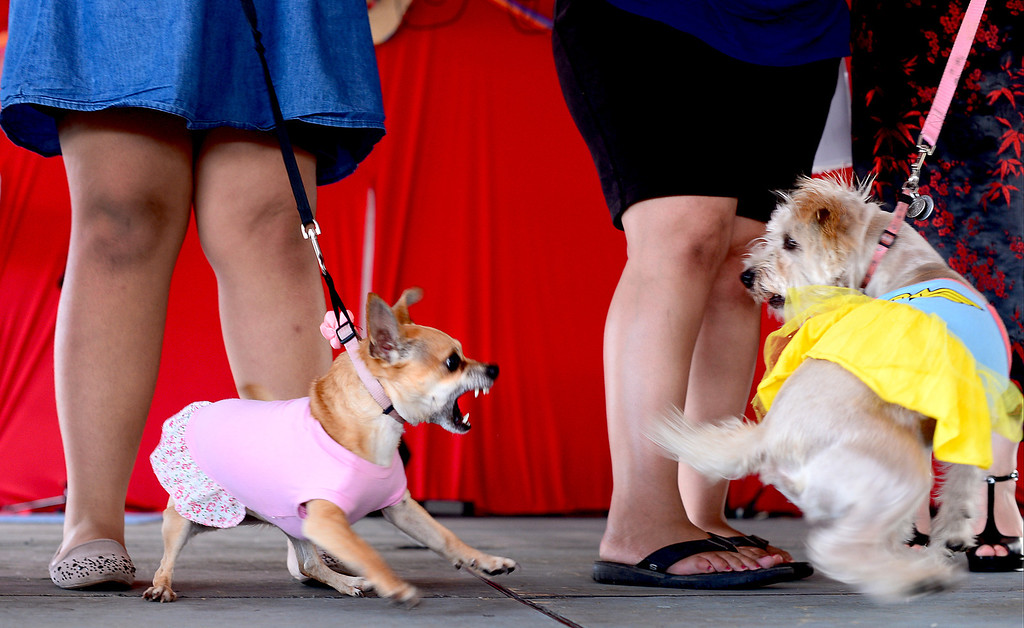 . Mariafernanda Escribens\' chihuahua GG and Frances Lepe\'s terrier mix Fiona, 3, mix it up during a pet costume  contest in the 242nd Annual La Fiesta de San Gabriel Saturday, August 31, 2013 at the San Gabriel Mission. The fiesta runs through Sunday. (Photo by Sarah Reingewirtz/Pasadena Star-News)