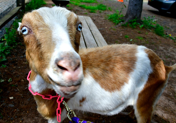 5/25/2019 Mike Orazzi | Staff Sweet Pea during the Fairy Goatmother play date held at Bradley Mountain Farm in Southington on Saturday.