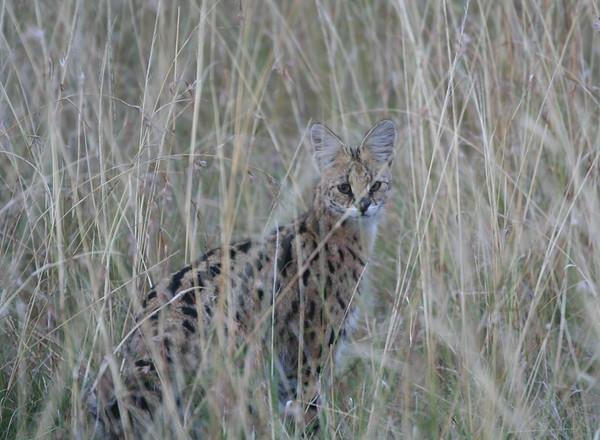 Serval Tanzania 2006
