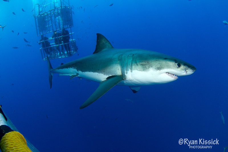 Great White Shark with divers in background