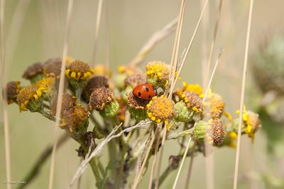 Ladybird, Seven-spot