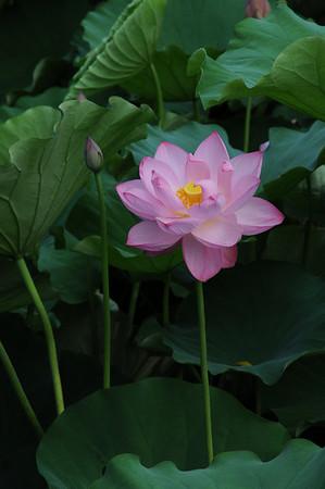 Ueno Park Lotus
