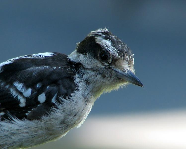 downey_woodpecker_6466.jpg
