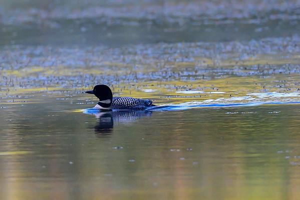 7-4-16 Common Loon