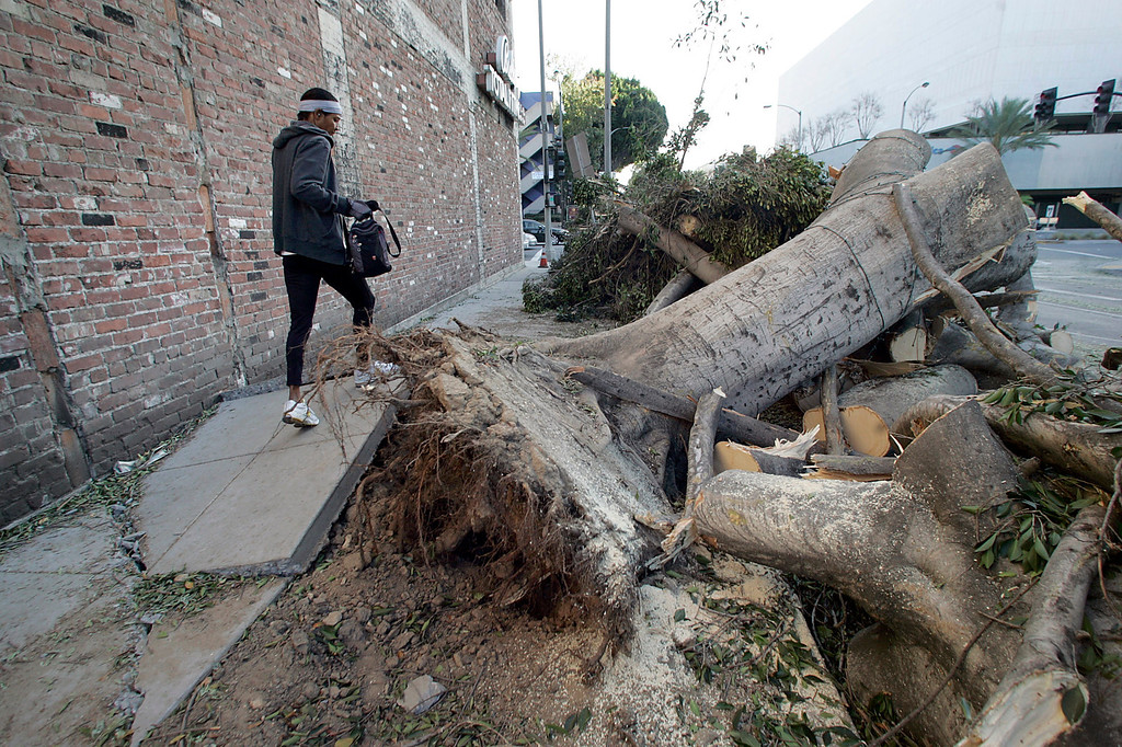 . A woman makes her way over a buckled sidewalk on Green Street on her way to the gym where the remains of fig trees lay Friday, December 2, 2011 in Pasadena after gusting winds whipped through the San Gabriel Valley overnight Thursday. The City of Pasadena declared a state of emergency.  (SGVN/Staff Photo by Sarah Reingewirtz/SXCITY)