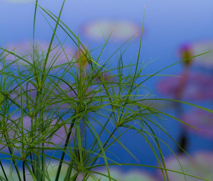 Lily  Pond 20