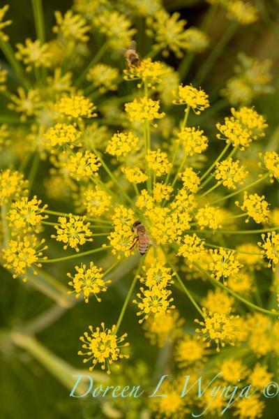 Foeniculum vulgare_018.jpg