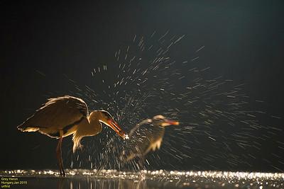 Grey Herons at night