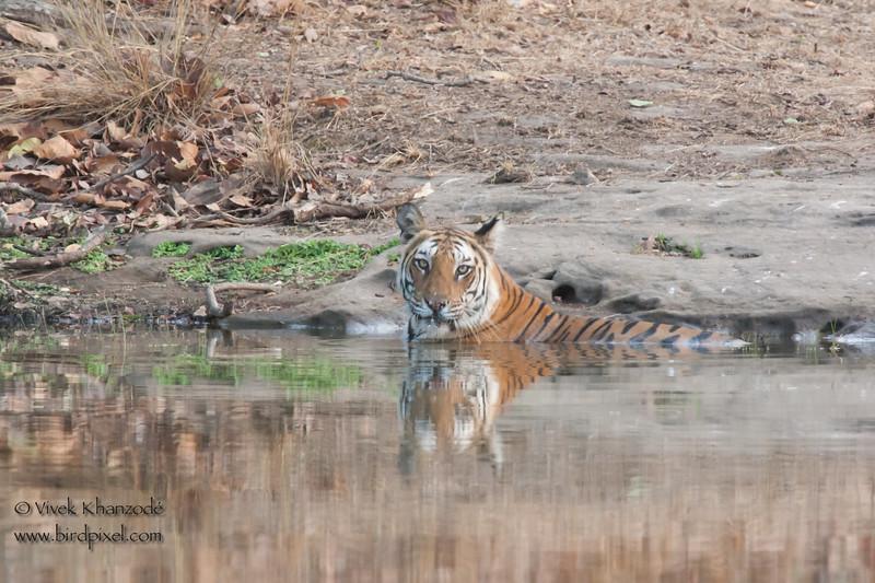 Royal Bengal Tiger - Bandhavgarh National Park, Madhya Pradesh, India