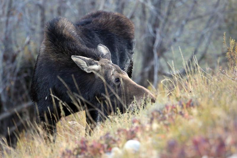 Grazing moose on Moose Wilson Road