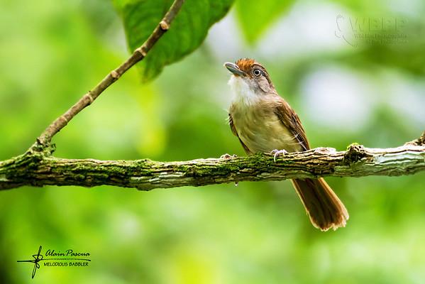 Threatened Birds of the Philippines