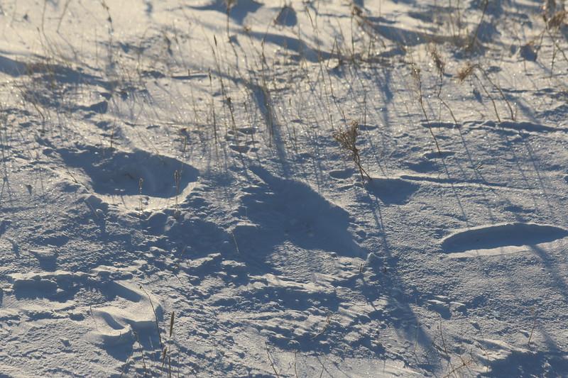 Tracks - Polar bear feet are the size of dinner plates.