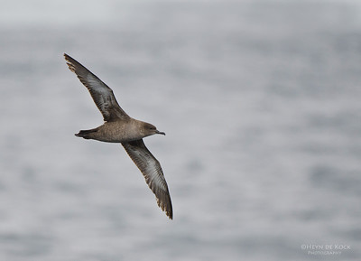 Sooty Shearwater (Ardenna grisea)