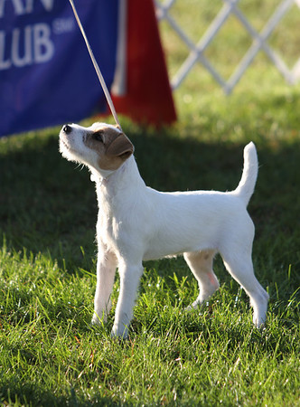 Parson Russell Terrier 2010 National Specialty