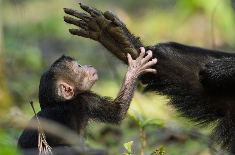 Blessings-from-mom-Lion-tailed-macaque-valparai.jpg