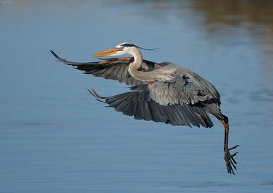 Waders, Cranes, and Gamebirds