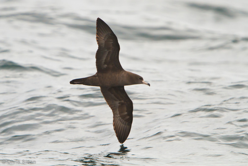 Flesh-footed Shearwater at pelagic out of Bodega Bay, CA (10-15-2011) - 477.jpg