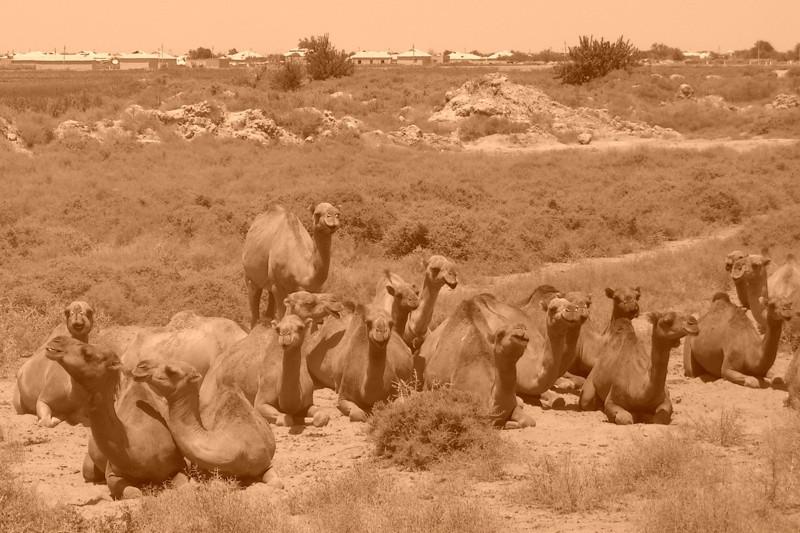 Resting Camels at Kyz Kala - Merv, Turkmenistan