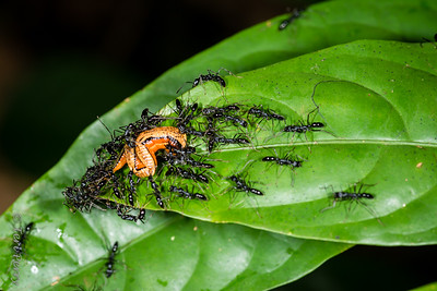 INSECT - ants feasting on leach-2179