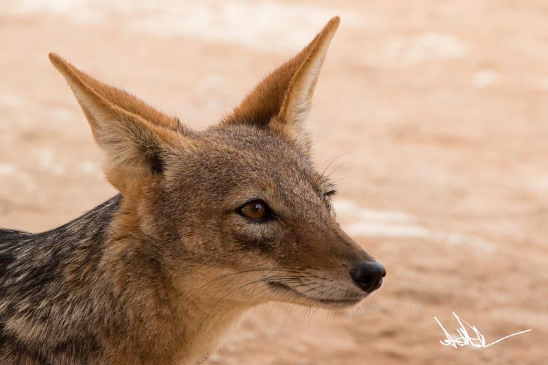Hyena-Jackel S-2.jpg