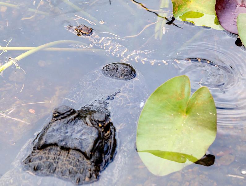 Aliigator-Baby-3.jpg