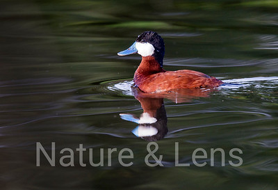 Waterfowl, Ruddy Ducks