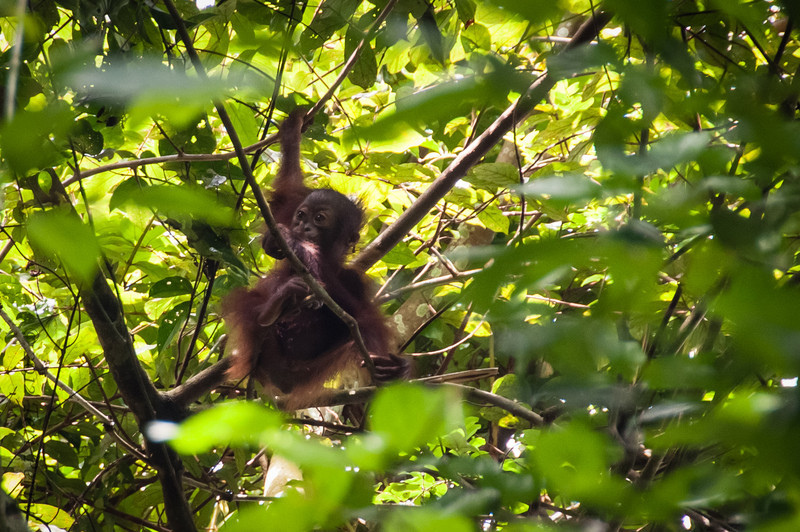 Baby orang utan are REALLY cute and playful. This one was under the mindful eye of the mom