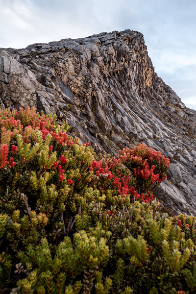 Plants at the base of Low's peak, the summit of Mount Kinabalu, Borneo (4095m)