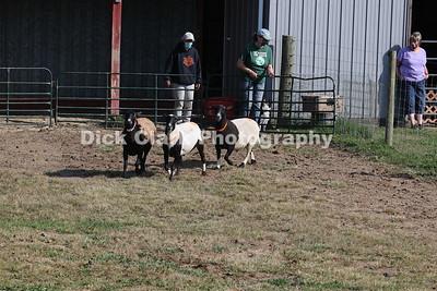 Saturday Herding Test Sheep