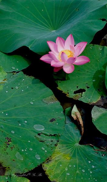Lotus 2.jpg
