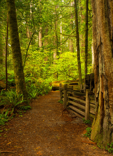 Fence in Redwoods Forest