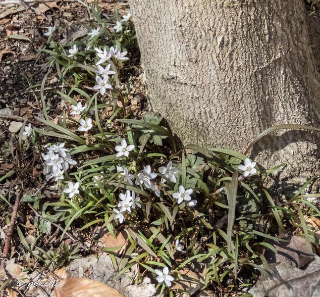 spring beauties 032917.jpg