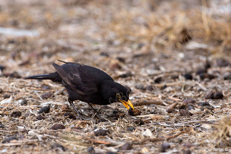 שחרור - Common Blackbird (Turdus merula) 17