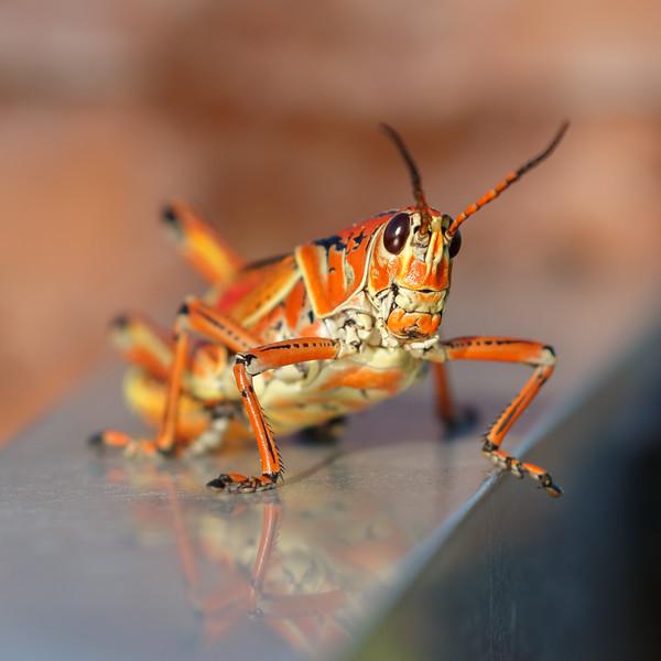 Lubber Grasshopper-3766.jpg