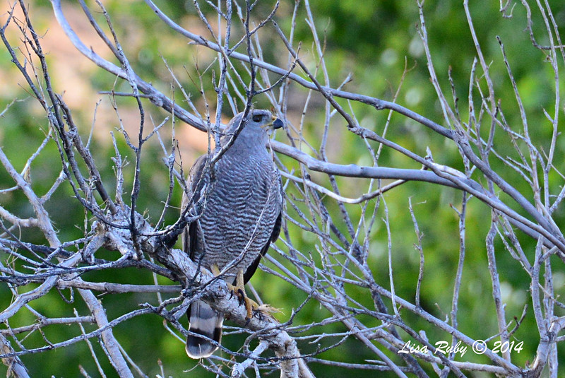 Gray Hawk - 4/20-2014 - Ash Canyon B&B, Hereford, Arizona