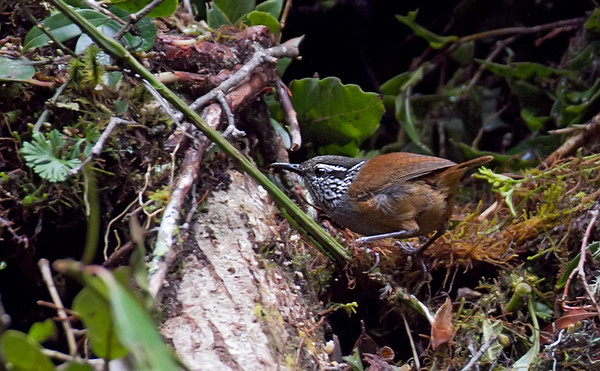 Graybreasted WoodWren