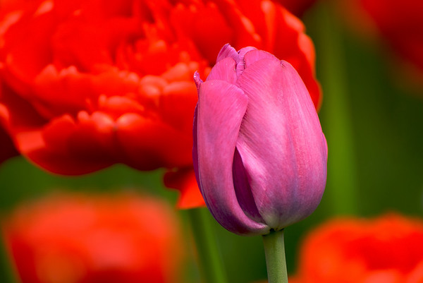05-01-10 Pre Tulip Festival / Avant le Festival des tulipes