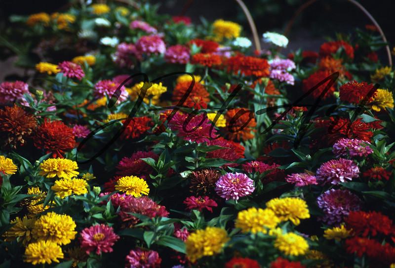 field of marigolds 799.JPG