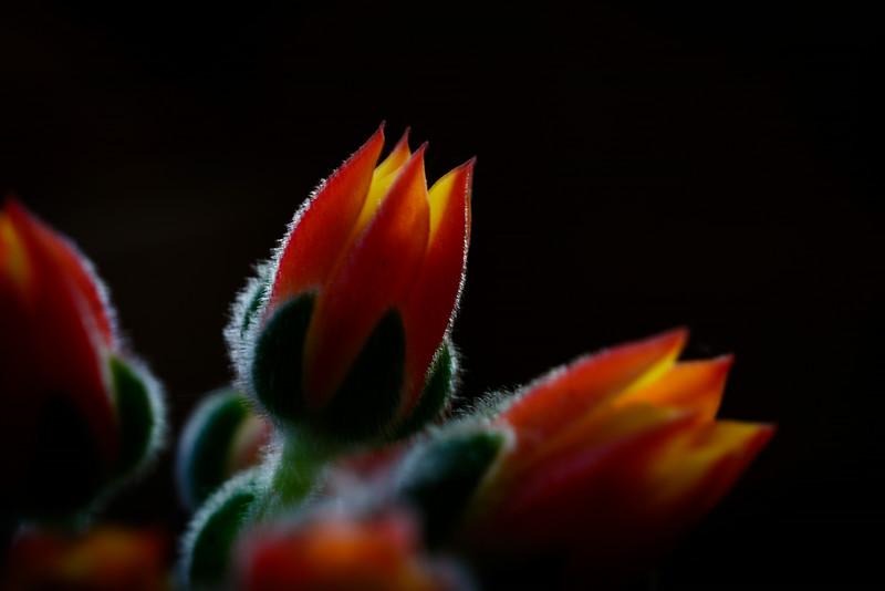 succulent flowers-5653.jpg