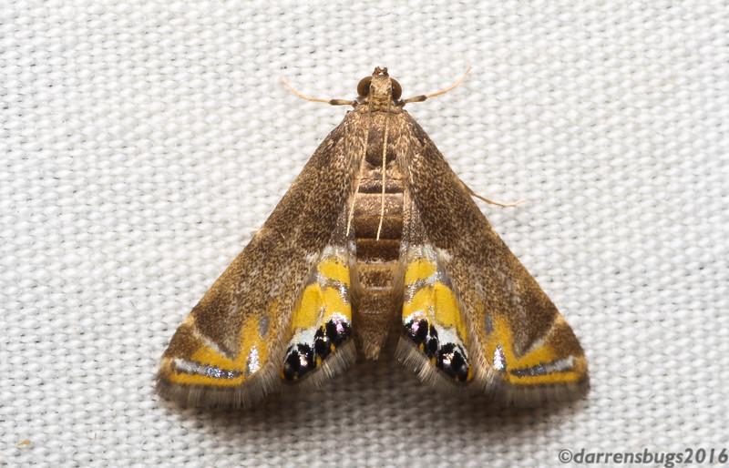 Grass moth (Acentropinae: Petrophila sp.) from Monteverde, Costa Rica.