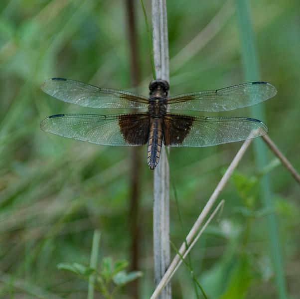 brownspotteddragonfly.jpg