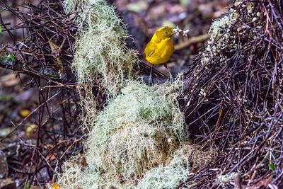 Riflebirds to Bower Birds