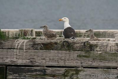 Gulls & Allies