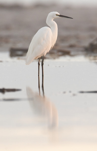 Little Egret - 0298.jpg