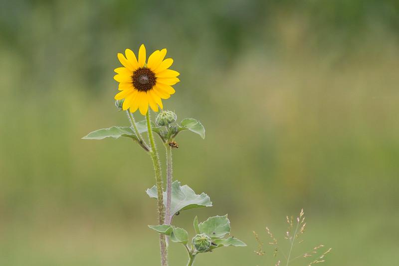 Wild Sunflower - Longmont, CO, USA