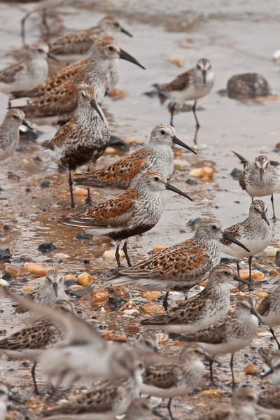 Dunlin waiting for Horseshoe crabs to come ashore to breed.