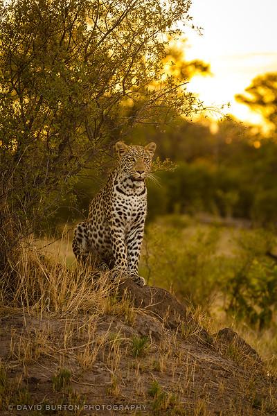 Leopard_Bots_0431cc2fx-web.jpg