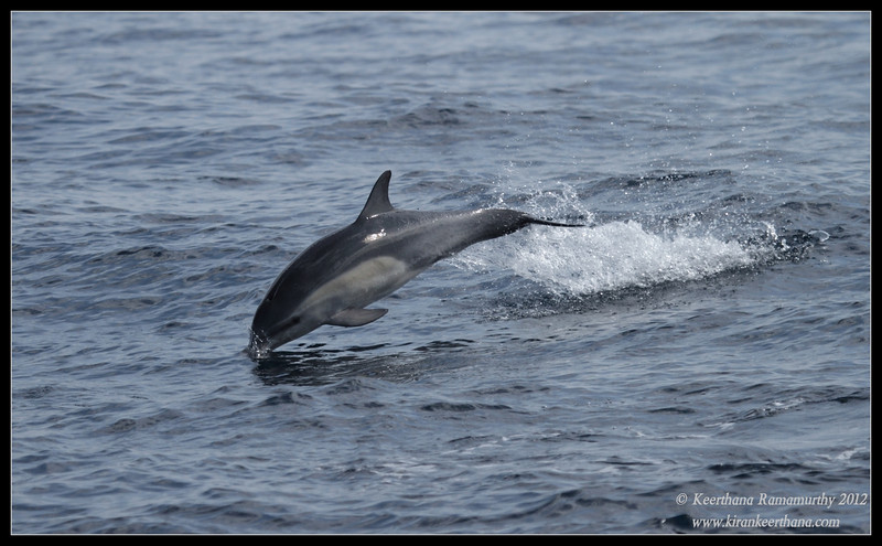 Common Dolphin, Whale Watching trip, San Diego County, California, September 2012