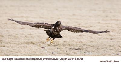 Bald Eagle J81268psd.jpg